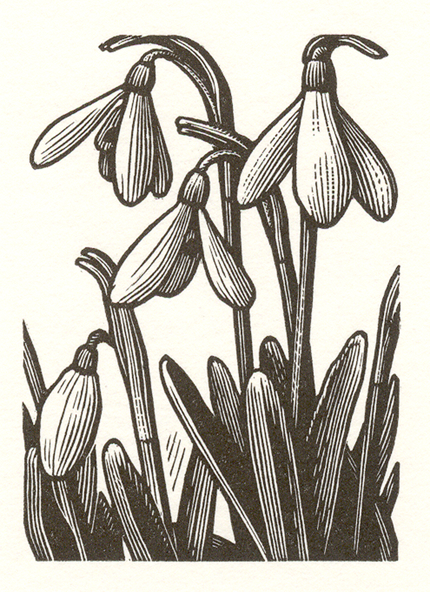 Snowdrops by Howard Phipps