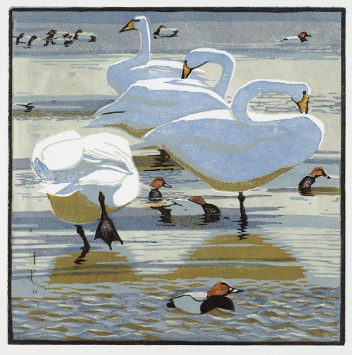 Whooper Swans and Pochards