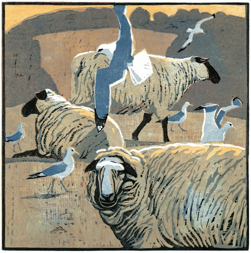 Common Gulls & Sheep
